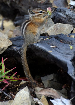 The endemic Olympic Chipmunk sits on a rock with its hands to its mouth eating a seed head