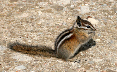 Olympic Chipmunk with paws to mouth as if feeding