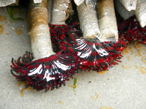 Red and purple feather-like bristles stick out of a tube and look like a feather duster underwater