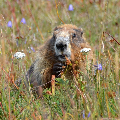 An endemic golden Olympic Marmot peeks out from a wildflower meadow with some vegetation in its right hand and mouth