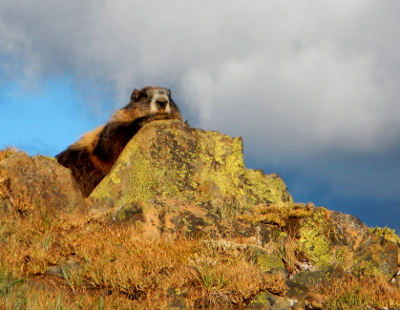 Close-up of an Olympic Marmot with patches of gold on its coat lounging on a rock as seen on an Olympic National Park vacation