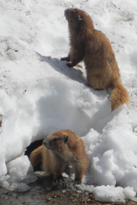 Two cinnamon-colored Olympic Marmots playing during early summer on a snow bank