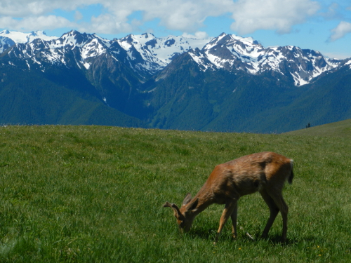 A male Columbian Black-tailed Deer with velvet antlers grazes with its head down in a green meadow at Hurricane Ridge with snow-covered Olympic Mountains in the background