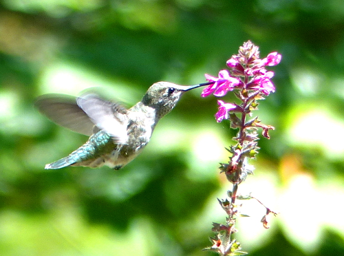 A female rufous hummingbird is hovering and gathering nectar from a pink tubular flower
