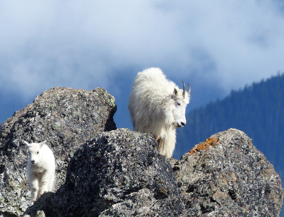 An adult and young Olympic National Park mountain goat are pictured here on a rocky crevice at Hurricane Ridge
