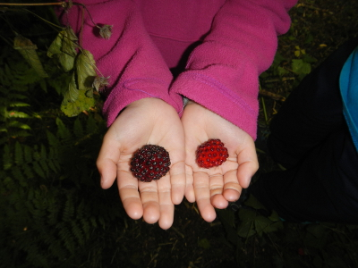 The hands of a young girl reveal two very large red salmonberries, which you can sample if you vacation in Olympic National Park in the spring