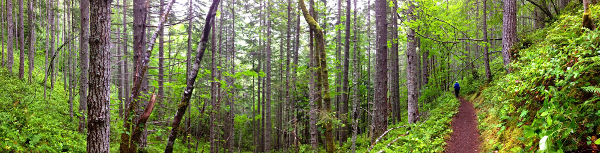 Douglas fir dominated coniferous forest is shown here with an Olympic National Park hiking trail