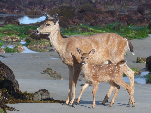 A mother Columbian Black-tailed Deer and her spotted fawn stand in the middle of Olympic National Park tidepools