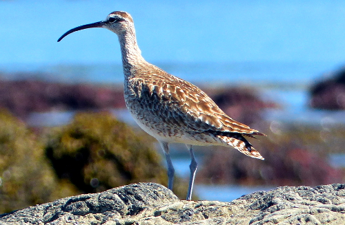 The Whimbrel is a large shorebird with a stout decurved dark bill and stripped head standing with the tidepools in the backgrounds