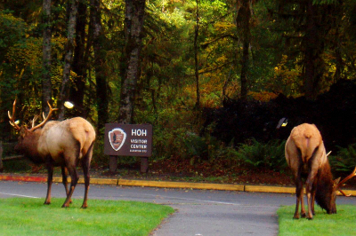 Two male Roosevelt elk with large antlers graze with their backs facing us in front of the Hoh Rainforest visitor center sign