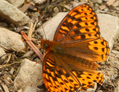 Close-up of a furry orange and brown patterned butterfly with its wings spread out resting on the ground