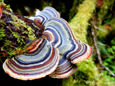 Close-up of a colorful Hoh Rainforest polypore fungi that shows almost all the colors of a rainbow