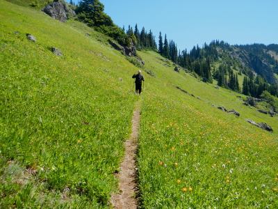 Olympic Peninsula hiker using hiking poles and following a small and narrow trail through a green meadow full of wildlflowers