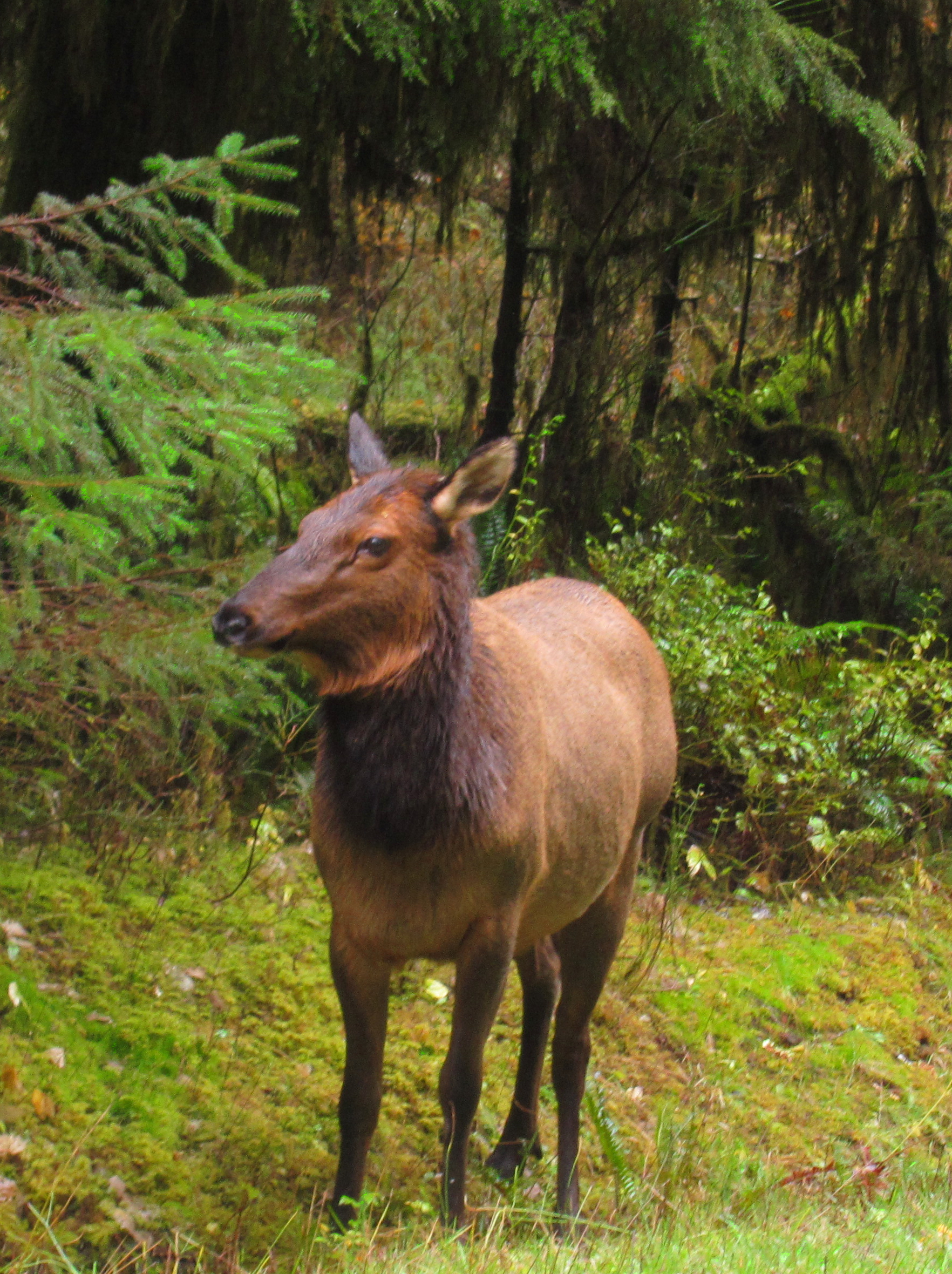 A female Roosevelt Elk with her chocolate brown head, neck, and legs stands to attention at the side of the Hoh Valley road
