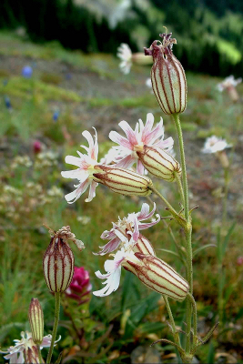 Close-up of Parry's Catchfly with a stunning diversity of subalpine wildflowers in the background
