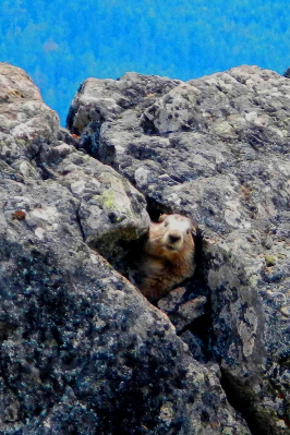An Olympic Marmot peeking its head out of the crevice of a large boulder