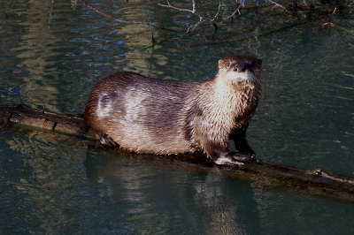 An extremely large and healthy River Otter posed perfectly for the camera