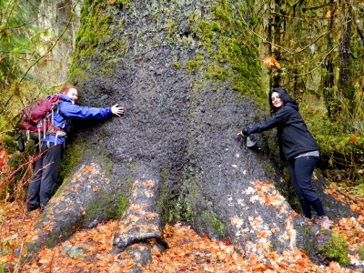 Two visitors to the Olympic Peninsula stand on either side of a very large Sitka Spruce tree and hug it