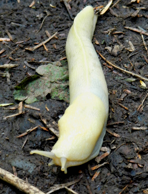 An outstretched pale yellow, almost white, banana slug contrasts with the wet soil beneath it