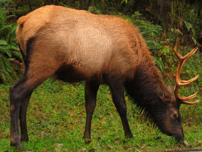 A large healthy-looking 10 point bull Roosevelt Elk grazes next to the side of an Olympic Peninsula roadway