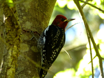 This Red-Breasted Sapsucker with its bright red head and black and white body has one talon resting in one of its small diameter holes