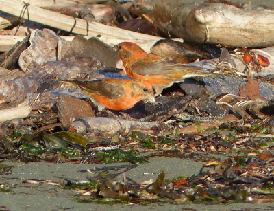 Two male crossbills in transitional yellow and red plumage are captured on the beach outside of Neah Bay