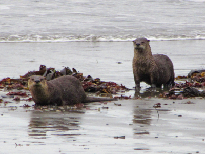 Close up of Two River Otters who had just emerged from the surf at Rialto Beach