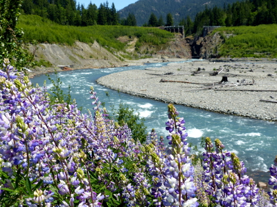 Pale purple riverbank lupine sway in the breeze above the clear blue Elwha River as is flows towards Glines Canyon in Olympic National Park