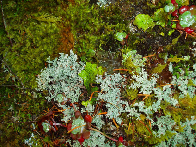 Close-up of the micro-flora growing on rock that includes moss, lichen, and a vascular plant (Stonecrop)