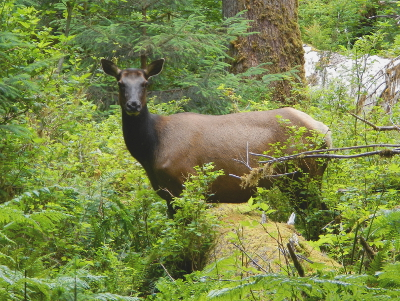 A large female elk poses over a nurse log while browsing for wild food near the Spruce Nature trail