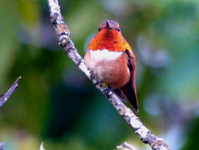 Frontal view of a male Rufous Hummingbird showing off its metallic orange gorget