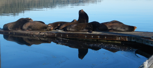Five California Sea Lions lie around the Neah Bay Marina, while a male lazily stands to attention