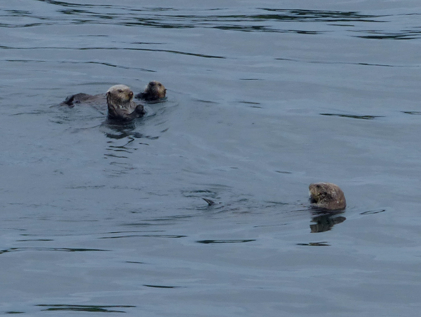 Three Sea Otters are shown in the water at Cape Flattery busily eating urchins