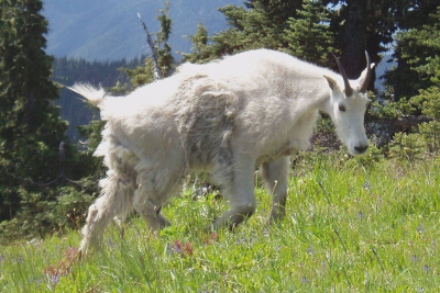 Close-up of a Mountain Goat walking through subalpine wildflowers with some winter fur still clinging to its body
