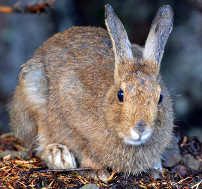Close-up frontal view of a brown Snowshoe Hare that reveals its large hind feet