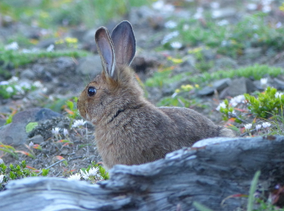 Profile shot of a brown snowshoe hare taken in the summer in a subalpine meadow dotted with Olympic National Park wildflowers