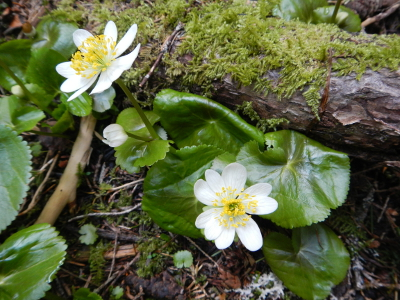Broad-leaved Marsh Marigold is a pretty white flower with a yellow center and circular to kidney-shaped leaves