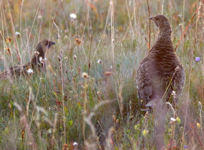 Close-up at dusk of a Sooty Grouse as seen while hiking