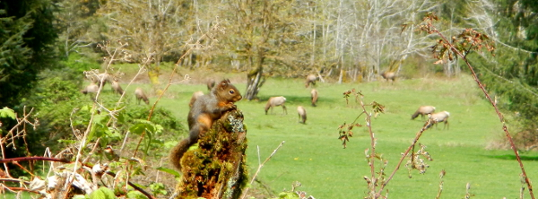 A Douglas Squirrel sits in the foreground on the apex of a decomposing tree with a herd of Roosevelt Elk grazing in the background