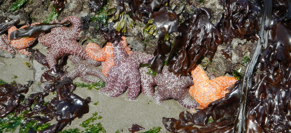 A line of orange, purple, and brown starfish with red, brown, and green seaweed bordering a rock