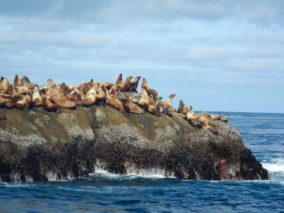 A large group of Steller Sea Lions sit in the sun on a rock visible from the end of the Cape Flattery trail