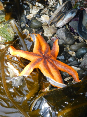 An orange eight-legged starfish with a purple stripe on top sits on rocks and kelp at low tide