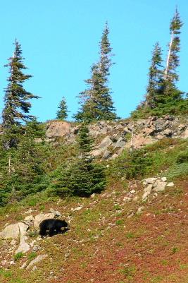 Black Bear moving through a subalpine meadow with scattered stunted trees in the background