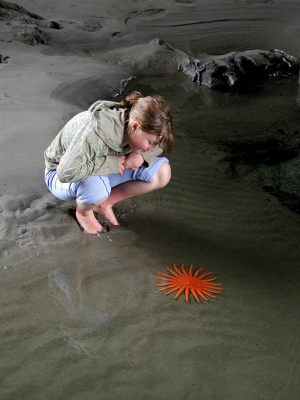 Girl focusing on a bright orange Sunflower Star, commonly called a starfish, at an Olympic National Park beach