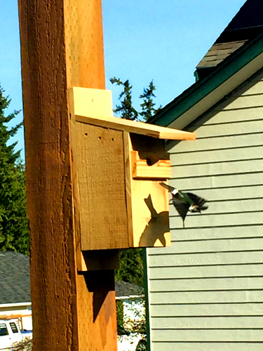 A violet-green swallow flies out of a nest box constructed by members of the Olympic Peninsula Audubon Society