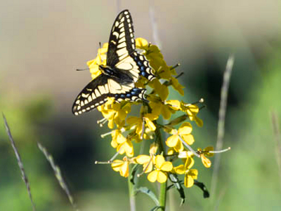 A yellow, black, white, and blue swallowtail butterfly alights atop the yellow Western Wallflower