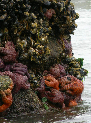 A rocky outcropping on an Olympic National Park beach is shown covered in mussels, barnacles, sea stars, and anemones