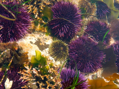 A tidepool in Olympic National Park is full of purple urchins and also includes two smaller green urchin