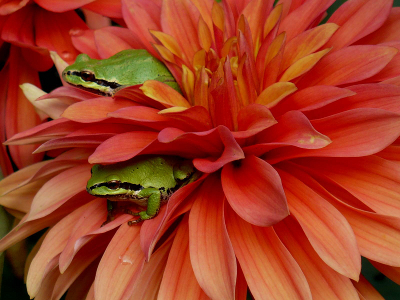Two bright green Northern Pacific Tree Frogs looking out from between the petals of a large pink and yellow dahlia