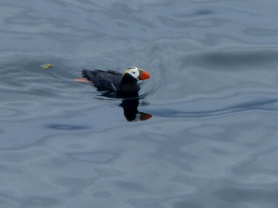 Tufted Puffin are shaped like footballs and have a white face when breeding and large bulbous orange bill